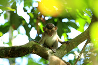 Long-tailed Macaque unge